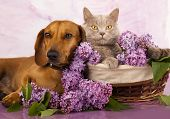 picture of dachshund dog  - British kitten rare color  - JPG