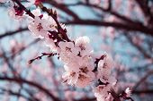 Blooming cherry-tree in a park during spring