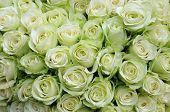Background of beautiful white roses