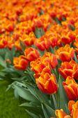 Field of beautiful orange tulips