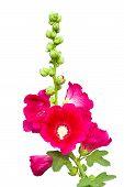 Dark Pink Hollyhocks Flower Isolated
