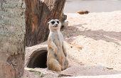 Stand Meerkat