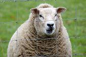 Looking Sheepish...