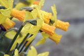 Dewy Daffodils