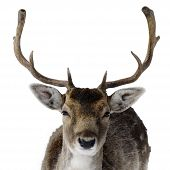 Adult Male Deer With Big Antlers