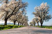 Cherry Trees Line