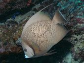 stock photo of angelfish  - Grey angelfish during a morning dive - JPG