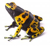 Yellow poison dart frog dendrobates leucomelas. Beautiful tropical rain forest animal from the Amazo