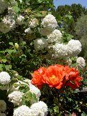 Flame Orange And White Pom Poms