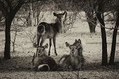 picture of bosveld  - Sepia Toned Picture of Herd of Alert Waterbuck Listening Carefully from Under Bushveld Trees - JPG