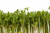 Nahaufnahme der frische Gartenkresse