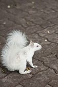 picture of albinos  - white albino squirrel with red eyes and bushy tail - JPG