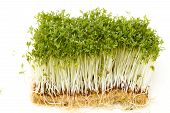 Healthy Garden Cress On White Background