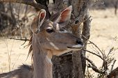 stock photo of bosveld  - Alart Kudu Cow Listening with Both Ears Turned Forward - JPG