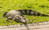 Crocodile Relaxing