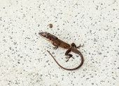 Common Salamander