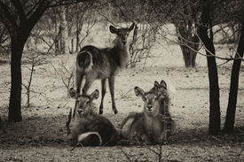 stock photo of bosveld  - Sepia Toned Picture of Herd of Alert Waterbuck Listening Carefully from Under Bushveld Trees - JPG