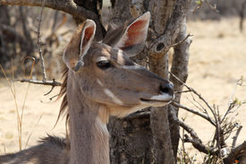 picture of bosveld  - Alart Kudu Cow Listening with Both Ears Turned Forward - JPG
