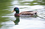 Mallard Duck On Water Surface