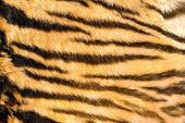 foto of tigress  - wild feline textured fur tiger dark natural stripes on real pelt - JPG
