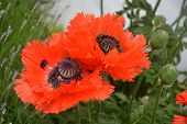 Papaver Orientale / Oriental Poppy Flower