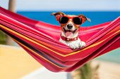stock photo of sunbathing  - dog relaxing on a fancy red hammock with sunglasses - JPG