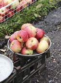 Overripe Apples On The Old Scales