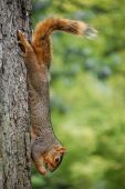 Squirrel on tree eating cicada