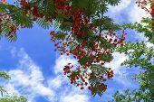 Tree Delonix Regia.