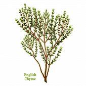 Fresh English Thyme