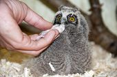 Long-eared Owl (asio Otus) Chick