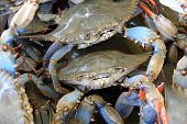 picture of blue crab  - A couple of blue crabs stand out in the crowd amongst their fellow crabs at the fish market - JPG