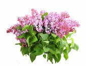 stock photo of lilac bush  - Beautiful bouquet of lilac with purple flowers and green leafes - JPG