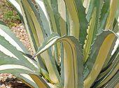 Thorny Aloe