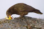 Kea Eating Pear