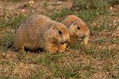 Prairie Dogs Feeding