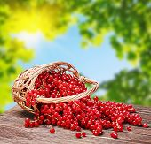 Red Currant In A Basket