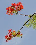 Flame Tree (Delonix regia) or Royal Poinciana Tree on bluesky background