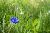 Closeup Of A Cornflower In Its Natural Habitat