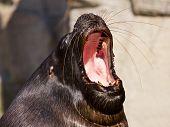 Tired Sea Lion Yawning