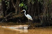 Egret Waits On A Fallen Tree On A Jungle River