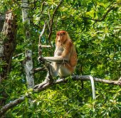 Single Proboscis Monkey Sitting In A Tree