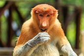 Female Proboscis Monkey Feeding