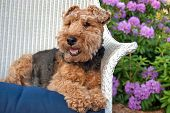 Welsh terrier in chair