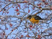 stock photo of red robin  - Robin perched on an icy branch to feed on red berries - JPG