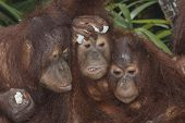 stock photo of orangutan  - Family photo of young Orangutans - JPG