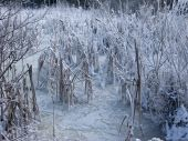 picture of firn  - Close up of frozen pond with snow covered reed - JPG