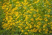 Marsh Marigold Plant With Yellow Flowers