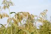 stock photo of sorghum  - reipen sorghum stalks in a field in summer - JPG
