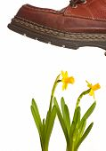 stock photo of stomp  - Boots stomping on yellow flowers on isolated background - JPG